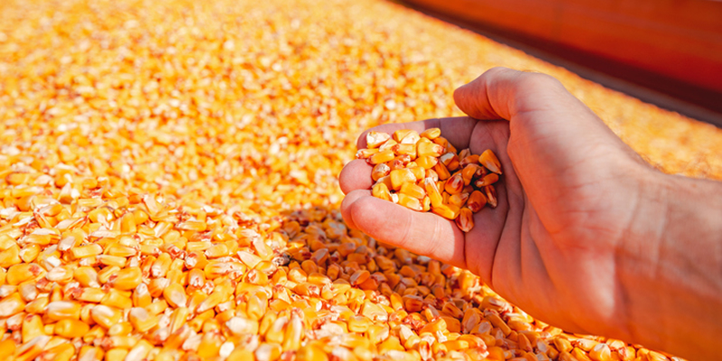 China Corn: Market stays firm on limited supply (week ended May 3, 2021)